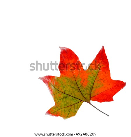 golden maple leaves, isolated on white background