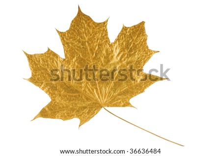golden maple tree leaf isolated on white (with clipping path) - stock photo