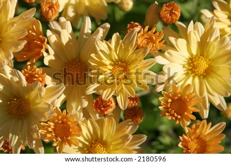 Golden mums in the sun.