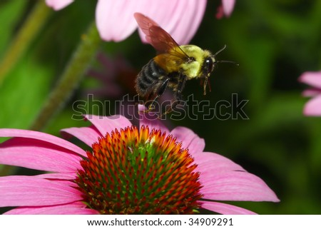 Golden Northern Bumblebee flying off of a Cone Flower. - stock photo