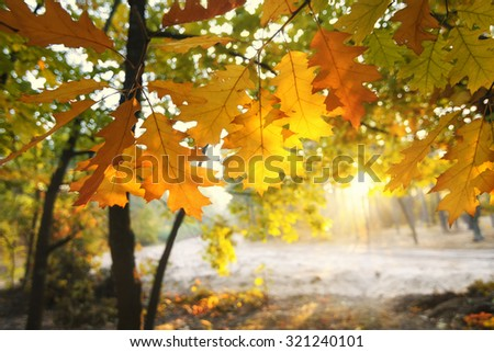 Golden oak leaves against sun in the fall forest - stock photo