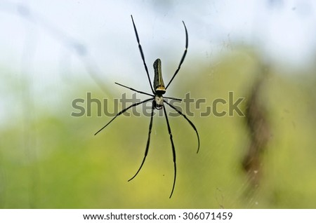 Golden Orb-web Spider (giant spider) in the forest. - stock photo