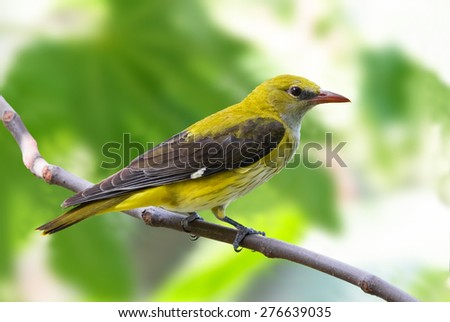 Golden oriole female on a branch - stock photo