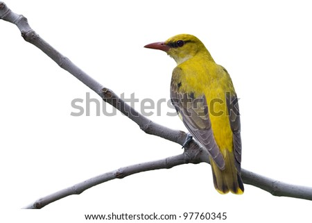 golden oriole isolated on white background