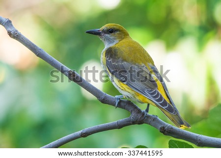 Golden oriole on a branch of a fig tree - stock photo