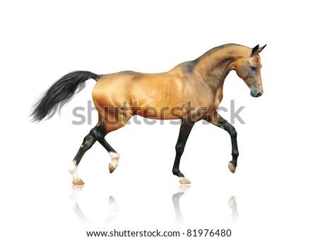 golden outstanding akhal-teke horse - stock photo