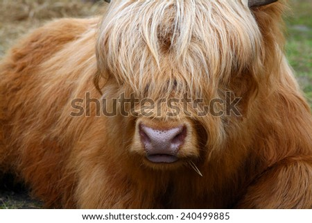 Golden ox with long hair covering eyes - stock photo