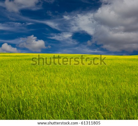 Golden paddy field and blue sky - stock photo