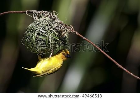 Golden Palm Weaver (Ploceus bojeri). Kenya - stock photo
