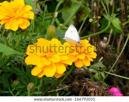 Golden Peonies with Cabbage White Butterfly                                - stock photo