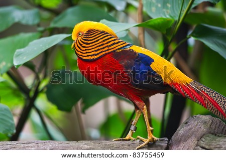 Golden Pheasant (Chrysolophus pictus) - stock photo