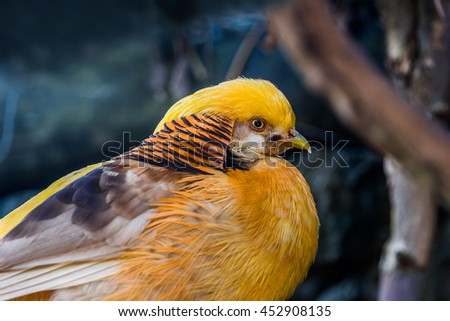 Golden pheasant  (Chrysolophus pictus) head on a blurred background - stock photo