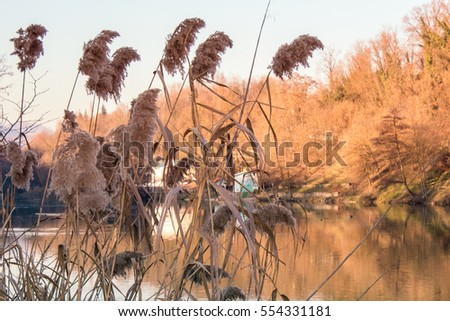 Golden Phragmites next to the River