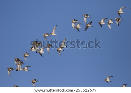Golden plover, Pluvialis apricaria, Group in flight, Gloucestershire, January 2015                - stock photo