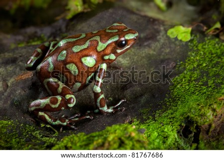 golden poison frog, dendrobates auratus lives in the central american rain forest of Panama. Beautiful animal kept as a pet in a tropical jungle terrarium. an exotic poisonous amphibian bright colors. - stock photo