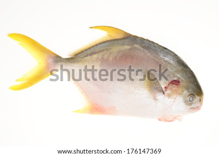 Golden Pomfret Ready For Cooking - stock photo