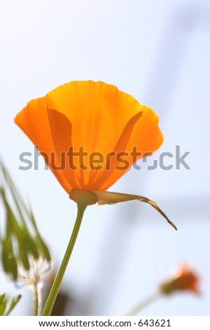 Golden Poppy - stock photo