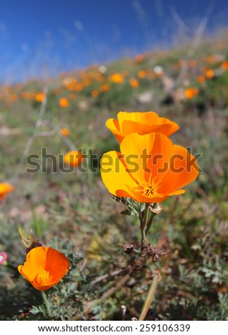 Golden poppy flower field, California, USA - stock photo