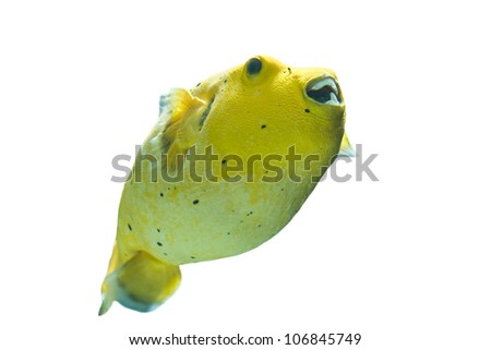 Golden Pufferfish ,Arothron citrinellus, in a white background - stock photo
