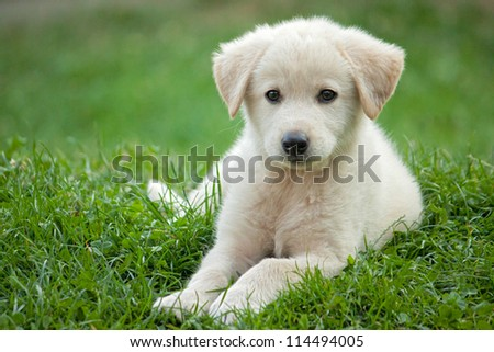 golden pup - stock photo