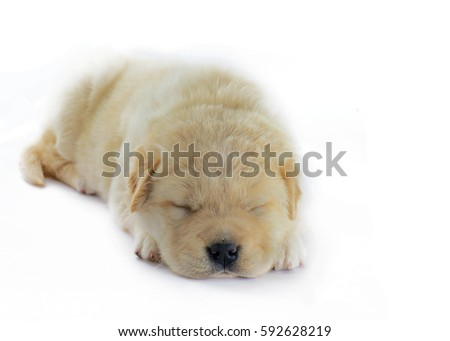 golden puppy 4-6 weeks sleeping ,shot in a soft focus with shallow depth of field. isolated on a white background