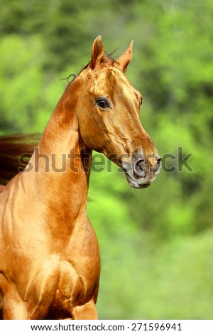 Golden red horse portrait in summer - stock photo