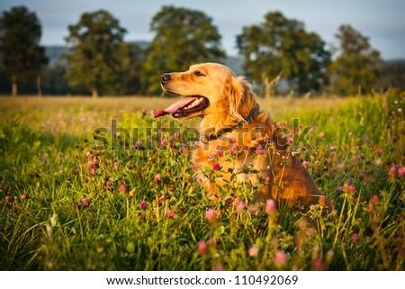 golden Retriever - stock photo