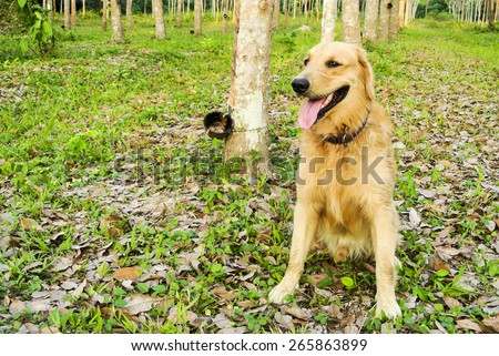 Golden retriever. - stock photo