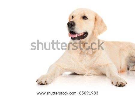 golden retriever - stock photo