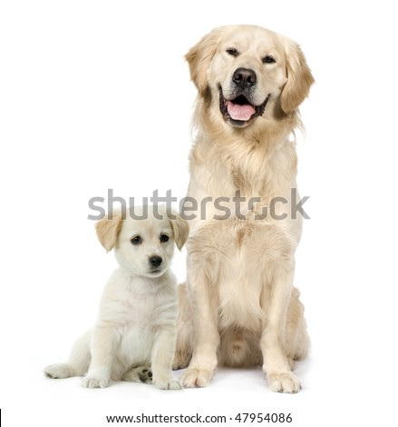 Golden Retriever and a Labrador puppy sitting in front of white background - stock photo