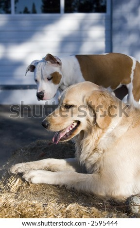 Golden retriever and a pit bull - stock photo