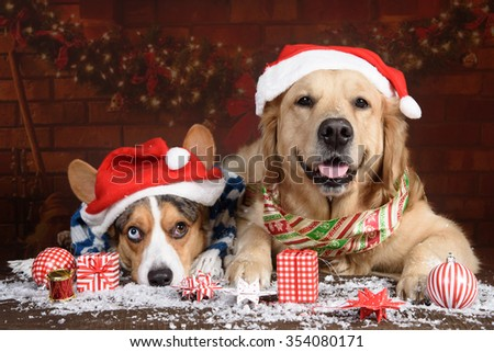 Golden Retriever and Bluemerle Cardigan Welsh Corgi with Christmas decorations and Santa's hats