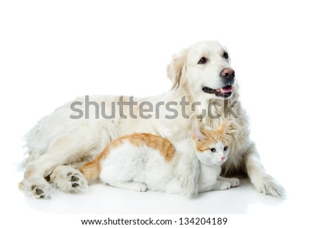 golden retriever and cat. looking away. isolated on white background