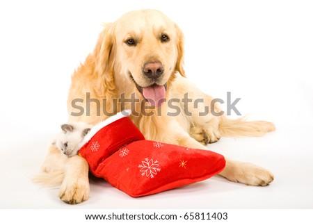 Golden Retriever and Ragdoll kitten in Santa stocking - stock photo