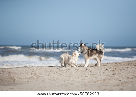 Golden Retriever and Siberian Husky playing