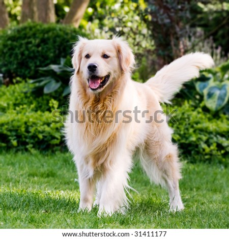 Golden retriever anxiously awaiting his ball to be thrown. - stock photo