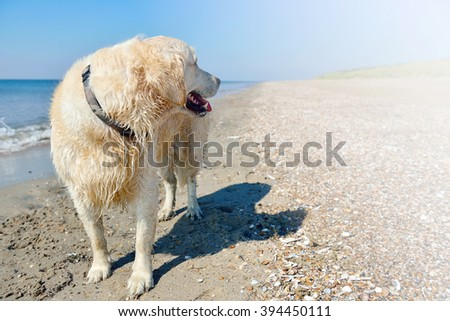 Golden retriever at the beach with copy space.