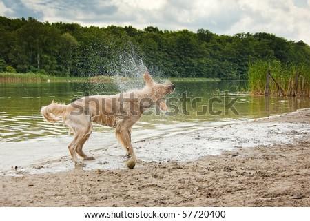 Golden Retriever at the Lake - stock photo