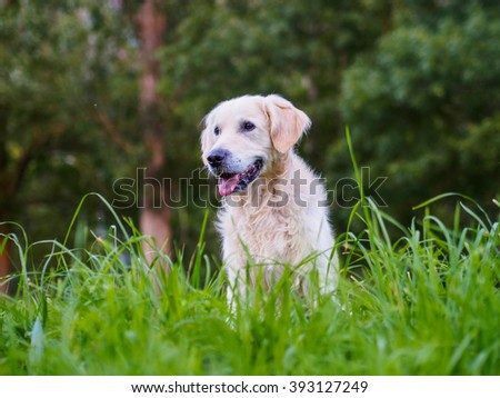 golden retriever between green mountain herbs - stock photo