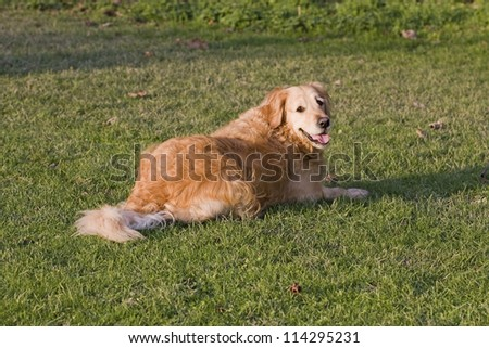 Golden Retriever bitch dog, 5 years old, lying down watching her master in the local park. Golden Retriever's make wonderful family pets. - stock photo