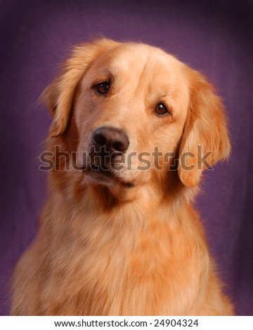 Golden Retriever breed dog
