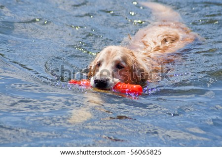 Golden Retriever carrying an orange bumper toy in the water at a dog park on a sunny day.