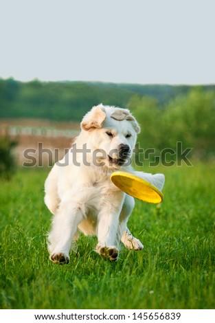 Golden retriever catching frisbee in jump - stock photo