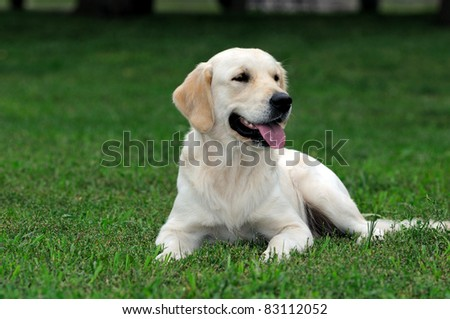 golden Retriever Close-up in the park - stock photo