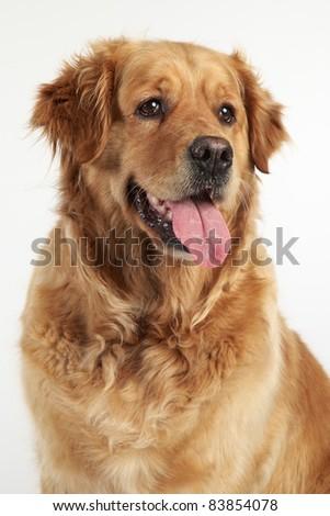 Golden Retriever close-up portrait on white background - stock photo