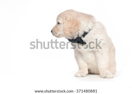 Golden Retriever Cute Puppies