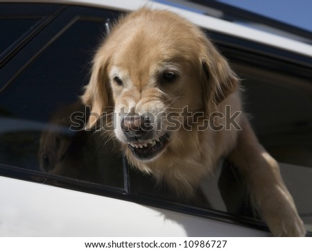 golden retriever defending car