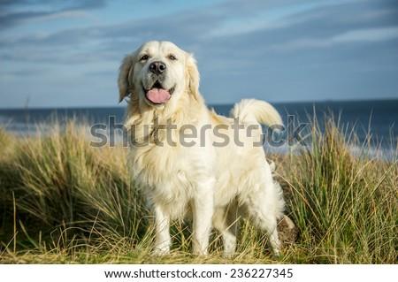 Golden Retriever Dog  - stock photo