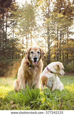 Golden retriever dog and best friend go to the park