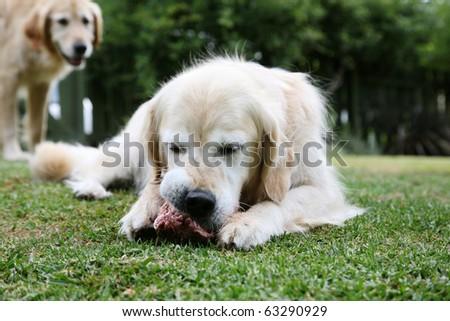 Golden retriever dog chewing on a bone, second golden retriever looking on wistfully wishing it was his bone - stock photo